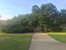 Century Tree.