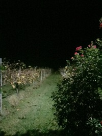 Scary vineyard at dark.