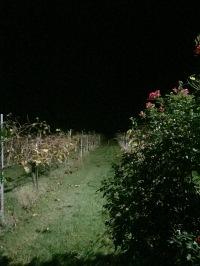 Scary vineyard at dark.