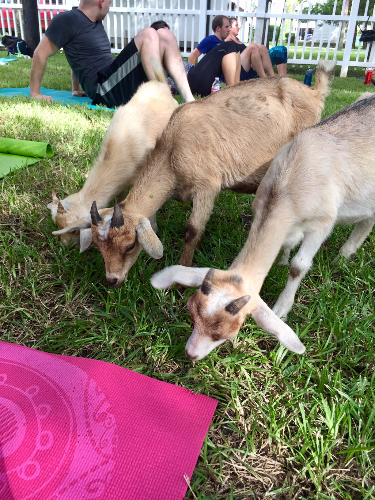 A Goat S Journey Over Life S: I Survived A Goat Yoga Class