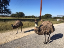 safari texas fossil rim wildlife