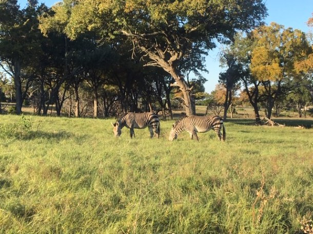safari texas fossil rim wildlife